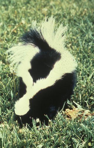 Skunk - Gov. Pic Pub Domain