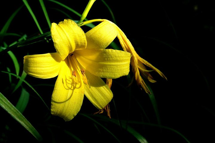 Yellow Lily - Rick Wing
